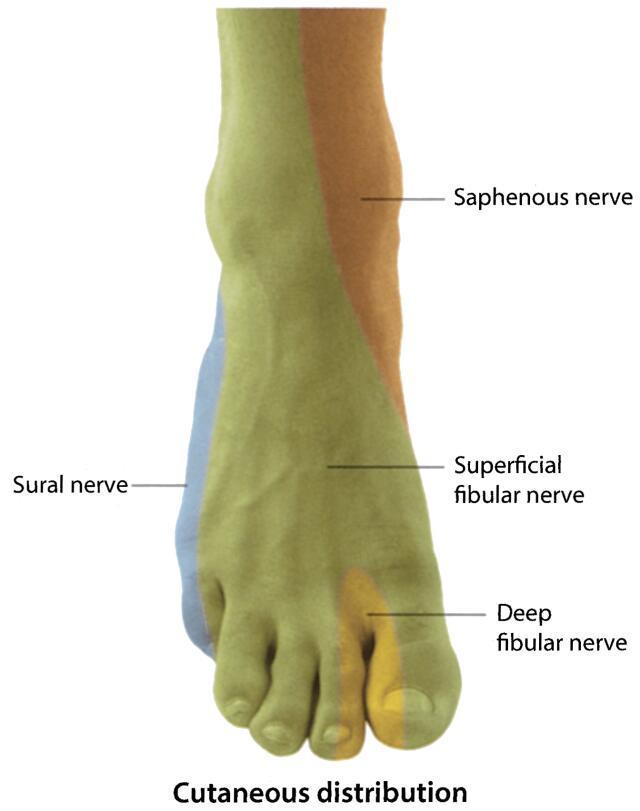 Amazing Ankle Nerve Anatomy Pattern - Human Anatomy Images ...