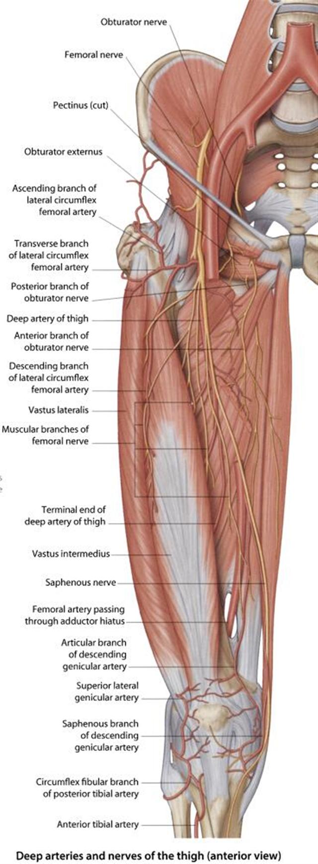 femoral nerve block - procedures consult japan, Muscles