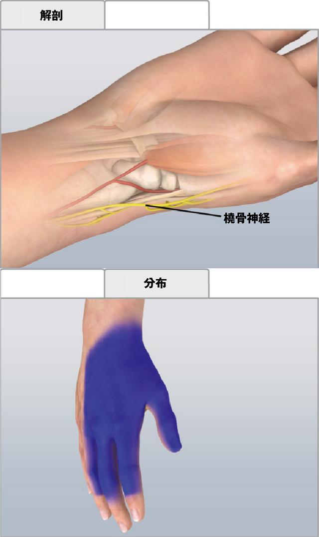 尺骨神経 尺骨神経は尺骨動脈と並走し、尺側手根屈筋腱深層を走行します。 尺骨動脈と尺骨神経は手首
